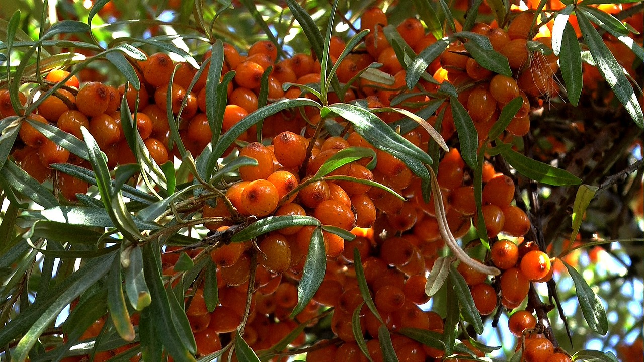 omega-7, seabuckthorn berries, amcoffee, am coffee, skin health