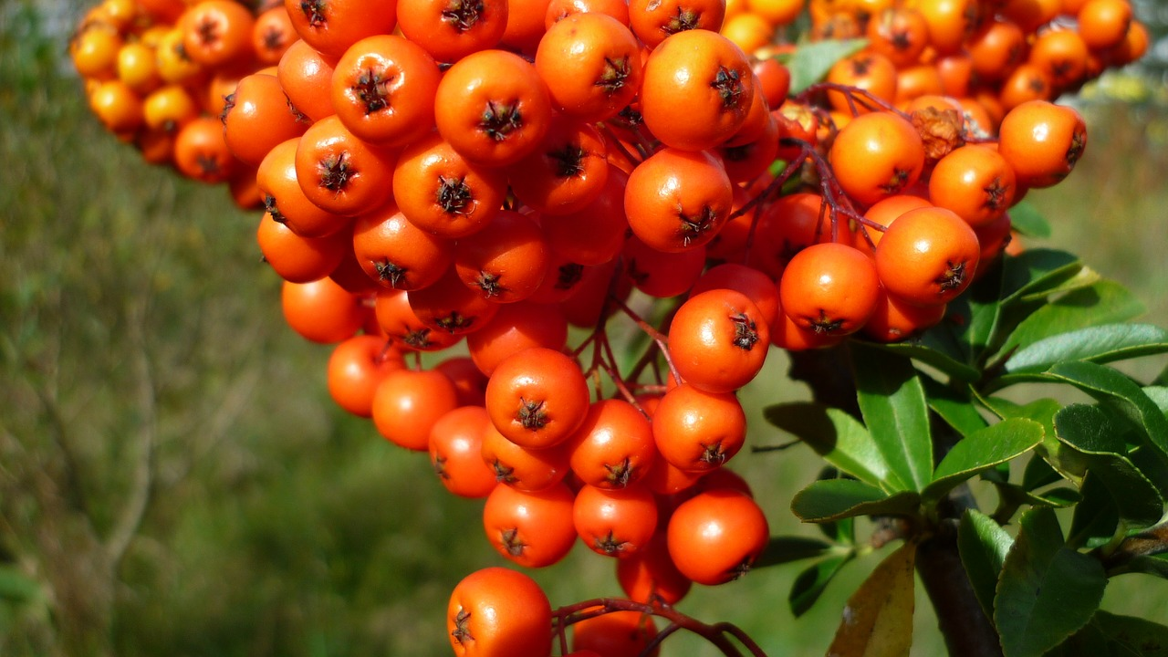 Seabuckthorn berries healthy skin benefits